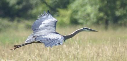 ridgefield_NWR_great_blue_heron_flying_over_field_07-03-07_med